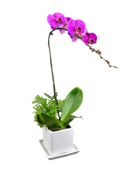 1 Pink Orchid Potted Plant Bonzai