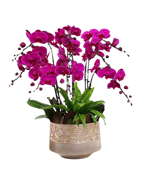 6 Pink Orchid Potted Plant Bonzai